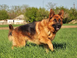 Собаки, щенки Немецкая овчарка, цена 4200 Грн., Фото