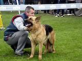 Собаки, щенята Німецька вівчарка, ціна 15500 Грн., Фото
