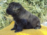 Собаки, щенки Ньюфаундленд, цена 8000 Грн., Фото
