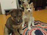 Собаки, щенята Сибірський хаськи, ціна 2000 Грн., Фото