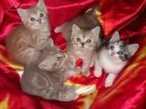 Кошки, котята Шотландская короткошерстная, цена 2300 Грн., Фото