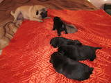 Собаки, щенки Мопс, цена 4800 Грн., Фото