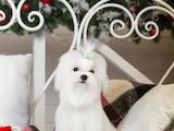 Собаки, щенята Мальтійська болонка, ціна 60000 Грн., Фото