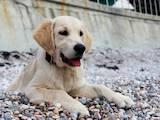 Собаки, щенята Золотистий ретрівер, ціна 25000 Грн., Фото