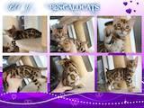 Кошки, котята Бенгальская, цена 25000 Грн., Фото