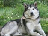 Собаки, щенята Аляска маламут, ціна 5000 Грн., Фото