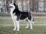 Собаки, щенята Сибірський хаськи, ціна 10300 Грн., Фото