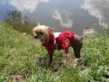 Собаки, щенята Китайська чубата собака, ціна 1 Грн., Фото