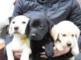 Собаки, щенята Лабрадор ретрівер, ціна 3600 Грн., Фото