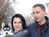 Собаки, щенята Сибірський хаськи, ціна 7500 Грн., Фото