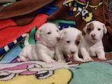 Собаки, щенки Джек Рассел терьер, цена 3000 Грн., Фото