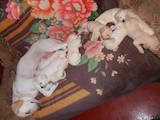 Собаки, щенки Лабрадор ретривер, цена 1500 Грн., Фото