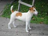 Собаки, щенята Гладкошерста фокстер'єр, Фото