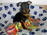 Собаки, щенята Карликовий пінчер, ціна 5000 Грн., Фото