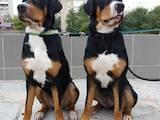 Собаки, щенята Великий Швейцарський зенненхунд, ціна 15000 Грн., Фото
