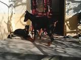 Собаки, щенята Доберман, ціна 3500 Грн., Фото