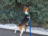 Собаки, щенята Бігль, ціна 400 Грн., Фото