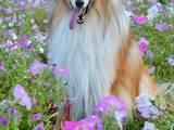 Собаки, щенята Спаровування, ціна 16000 Грн., Фото