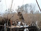 Собаки, щенки Русско-Европейская лайка, цена 1000 Грн., Фото