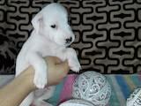 Собаки, щенята Джек Рассел тер'єр, ціна 5500 Грн., Фото