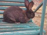 Гризуни Кролики, ціна 450 Грн., Фото