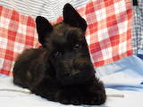 Собаки, щенята Скотчтерьер, ціна 13500 Грн., Фото