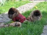 Собаки, щенята Пекінес, ціна 1500 Грн., Фото