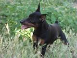 Собаки, щенки Карликовый пинчер, цена 100 Грн., Фото