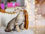 Кішки, кошенята Орієнтальна, ціна 5000 Грн., Фото