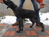 Собаки, щенки Немецкая жесткошерстная легавая, цена 6000 Грн., Фото