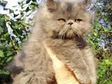 Кошки, котята Персидская, цена 1500 Грн., Фото