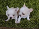 Собаки, щенята Чихуа-хуа, ціна 3500 Грн., Фото