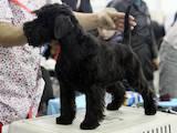 Собаки, щенки Цвергшнауцер, цена 10000 Грн., Фото