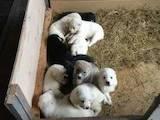 Собаки, щенки Среднеазиатская овчарка, цена 2500 Грн., Фото