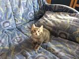 Кошки, котята Курильский бобтейл, Фото