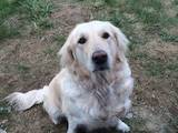 Собаки, щенята Лабрадор ретрівер, ціна 8000 Грн., Фото