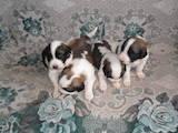 Собаки, щенята Московська сторожова, ціна 3500 Грн., Фото