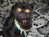Кішки, кошенята Шотландська короткошерста, ціна 6000 Грн., Фото
