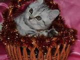 Кошки, котята Шотландская короткошерстная, цена 2500 Грн., Фото