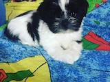 Собаки, щенки Ши-тцу, цена 2300 Грн., Фото