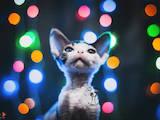 Кішки, кошенята Девон-рекс, ціна 14340 Грн., Фото
