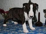 Собаки, щенки Бультерьер, цена 8700 Грн., Фото