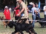 Собаки, щенята Різеншнауцер, ціна 2500 Грн., Фото