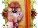 Собаки, щенята Померанський шпіц, ціна 15000 Грн., Фото