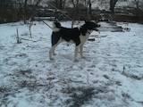 Собаки, щенята Західно-Сибірська лайка, ціна 5500 Грн., Фото