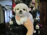 Собаки, щенки Пекинес, цена 2200 Грн., Фото