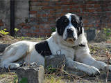 Собаки, щенята Середньоазіатська вівчарка, ціна 3000 Грн., Фото