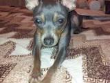 Собаки, щенки Русский гладкошерстный тойтерьер, цена 5500 Грн., Фото