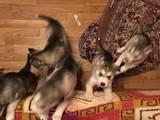 Собаки, щенята Сибірський хаськи, ціна 3900 Грн., Фото