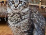 Кішки, кошенята Мейн-кун, ціна 3900 Грн., Фото